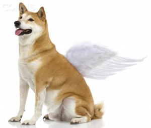 Shiba Inu Dog with angel wings, studio shot